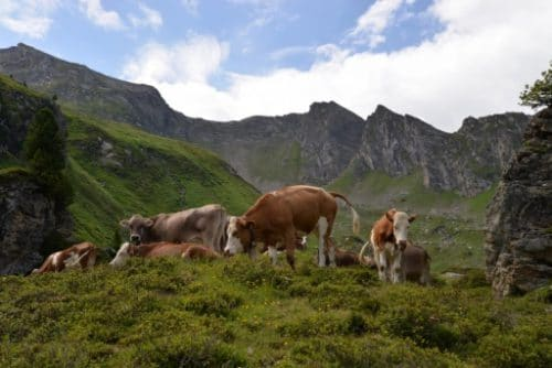 Cattle in the mountains of Austria. Picture by Katri Viikki